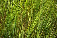 Close_up of grass growing in Tuscany, Italy