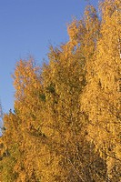 Blue, Golden, Day, Clear Sky, Autumn