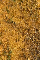 Branch, Full Frame, Dense, Close_Up, Autumn