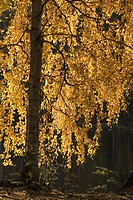 Close_Up, Day, Golden, Leaf, Leaves