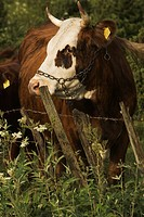 Bovine, Cow, Close_Up, Chain, Animal