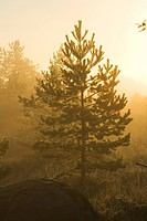 Coniferous Tree, Dusk, Evergreen Tree, Forest, Glow