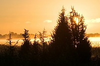 Coniferous Tree, Dawn, Day, Evergreen Tree, Forest