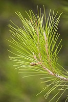 Branch, Close_Up, Day, Evergreen Tree, Green