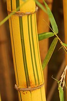 bamboo, bamboo plant, agriculture