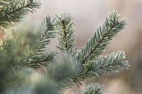Branch, Close-Up, Coniferous Tree, Day, Evergreen Tree (thumbnail)