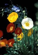 corn, Bernhard, blossom, blooms, bloom, abloom