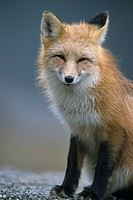 Foxes, red fox, sorrel, American, vulpes, Canada, carnivore (thumbnail)