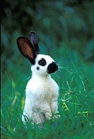 pet, animals, black, bunny