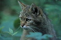 European wildcat, portrait, felis, cat, carnivore, carnivores, cats