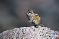 Hoernchen, alberta, animal, animals, backenhoernchen, Canada, chipmunk (thumbnail)