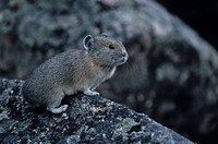 Portrait, Alberta, American Pika, Amerikanischer Pfeifhase, Coney, hares, hasenartig (thumbnail)
