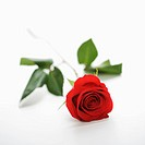 Single long_stemmed red rose against white background