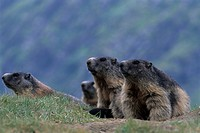 groundhog, alpentier, marmot, marble, rodent, rodents, national park