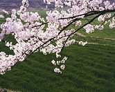 cherry tree, landscape, spring, season, scene, cherry blossom, nature
