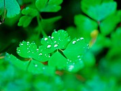 waterdrop, plants, plant, four_leafclover, film