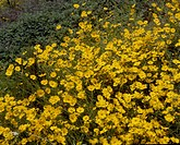 yellow flowers, nature, flowers, flower, scene, wildflower, landscape