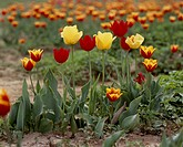 Red flower, nature, flowers, flower, scene, yellow flowers, landscape (thumbnail)