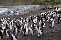 Royal penguins and elephant seals, Sandy Bay, Macquarie Island, Australia
