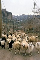 Fauna, Group, Adventure, trip, Hazy, Sheep, Summer (thumbnail)