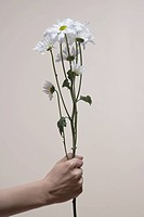 Woman's hand holding daisies close_up
