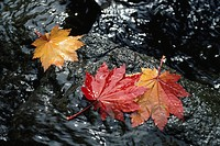 Three Flowing Fallen Leaves