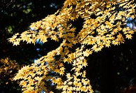 Leafy Maple Tree Branches