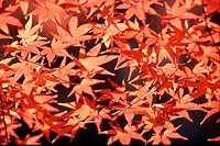 Red Maple Leaf Blades
