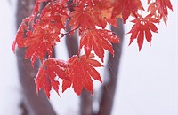 Red Maple Leaves In Snowfall
