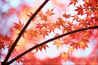 Leafy Maple Branches In Autumn