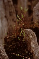 Sporophytes Of Moss On Rock