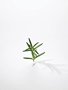 The Leaf Of Rosemary