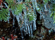 Icicles On Branch