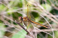 Dragonfly Odonata epiprocta on a branch, Florida, USA