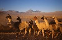 Chile, lamas in Atacama