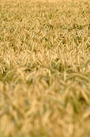 Field of rye secale, close up