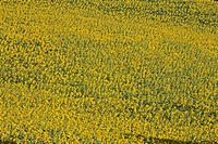 Italy, Tuscany, Field of sun flowers, elevated view, full frame