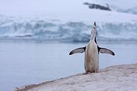 Antarctica, South Shetland Islands, Chinstrap Penguin Pygoscelis antarcticus
