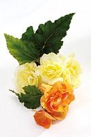 Begonia flowers Begonia