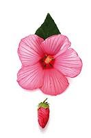 Rose mallow Hibiscus moscheutos
