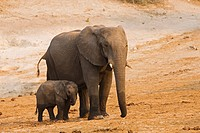 Africa, Botswana, African Elephant Loxodonta africana mother and calf