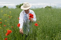 Man picking poppy Papaver sp.