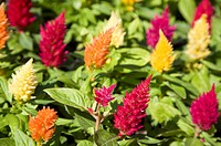 Flowers, cockscomb Celosia argentea and amarantha, close up
