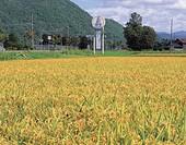 Glutinous rice field, autumn, Kamikawa, Hokkaido, Japan