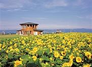 Asahigaoka, sunflower field, belvedere, Memambetsu, Hokkaido, Japan