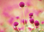 Common Globe_Amaranth, Japan