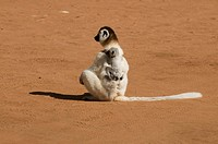 Sifaka mother carries her child Propithecus verreauxi Berenty Private reserve Madagascar Africa
