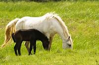 Horses in Emporda Aiguamolls