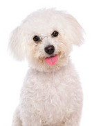 Bichon Frisé dog _ portrait _ cut out
