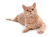 Selkirk Rex cat _ lying _ cut out
